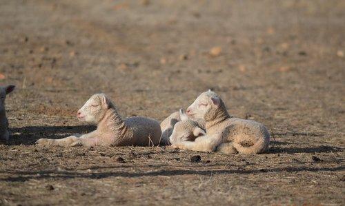 lambs  spring lambs  baby