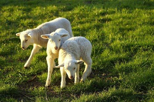 lambs  friends  playmates