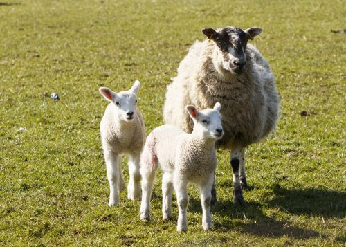 Lambs And Mother Sheep