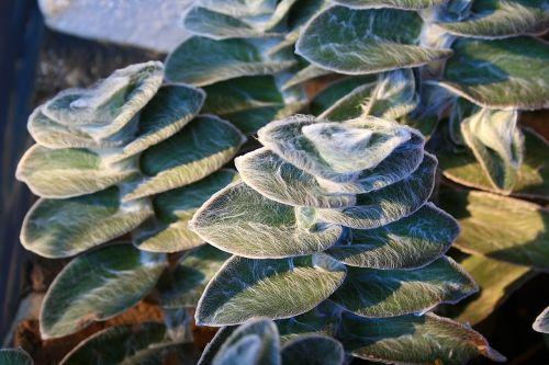 lambs ear plant leaves