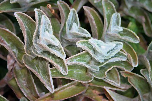 Lamb's Ear Plants