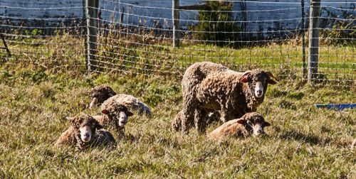 Lambs In The Country