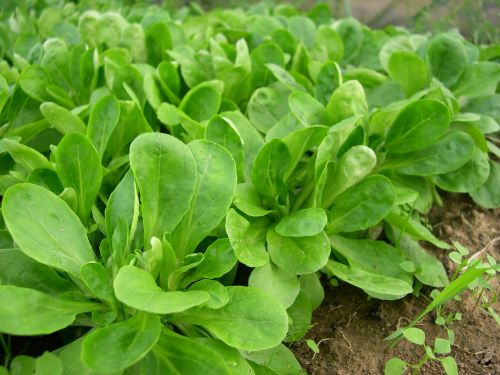 lamb's lettuce vegetables salad