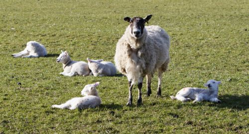 Lambs Sunbathing