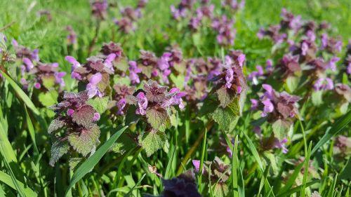 lamium purpureum purple deadnettle deadnettle