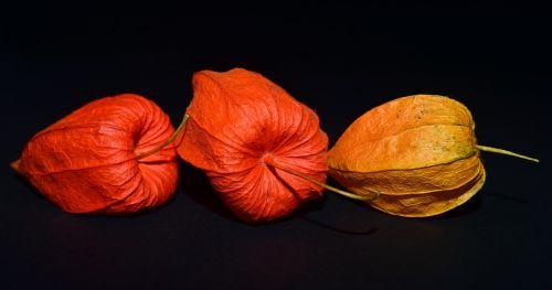 lampionblume flower close