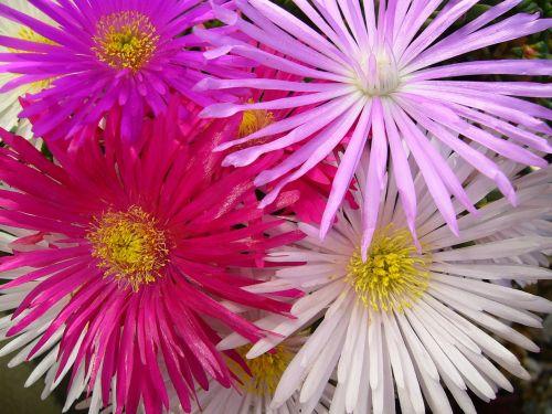 lampranthis delicate flowers aizoaceae