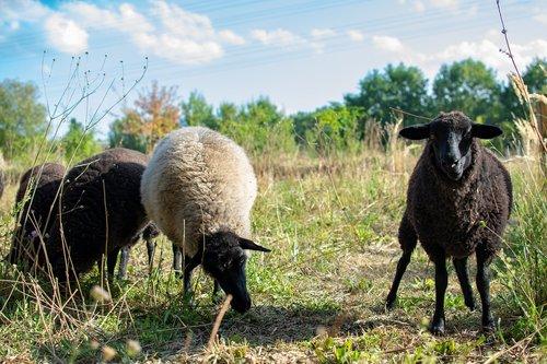 land  sheep  animals