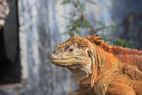 land iguana galapagos iguana