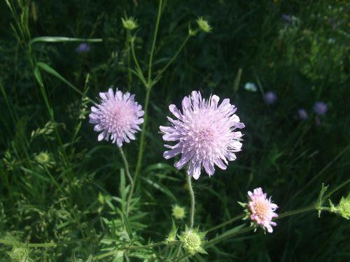land wittwenblume flower knautia arvensis