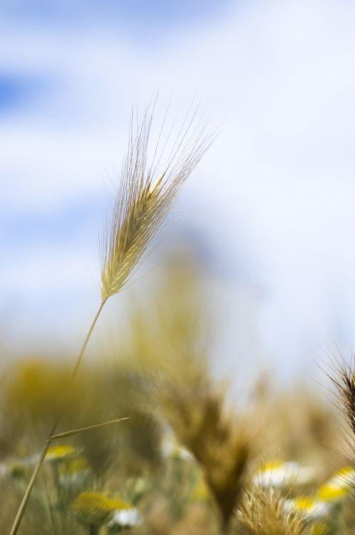 kraštovaizdis,mėlynas,mėlynas dangus,įkvėpimas,lauke,motyvacija,dangus,gamta,grazus krastovaizdis,peizažai,gražus,gamtos kraštovaizdis,kukurūzai