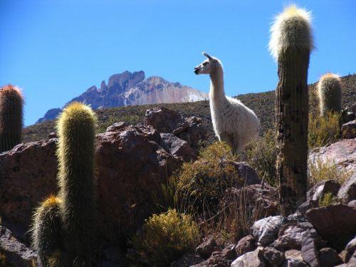 liepsna,Bolivija,kaktusas,kalnas,kraštovaizdis,gyvūnas,ilgas kaklas