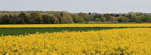 landscape field of rapeseeds oilseed rape