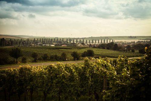 landscape rheinhessen wine