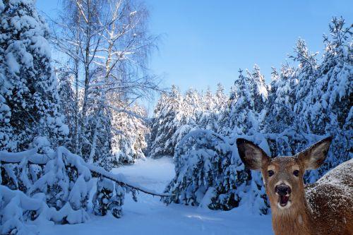landscape winter firs