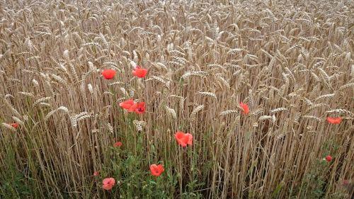 landscape poppy lonely