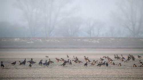 landscape fog geese