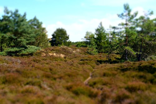 landscape  heide  pine