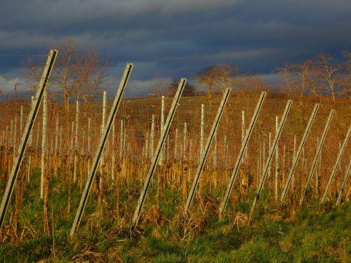 landscape vines winegrowing