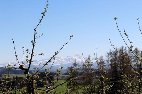landscape apple trees flowers