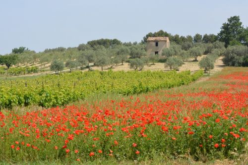 landscape poppy vineyards