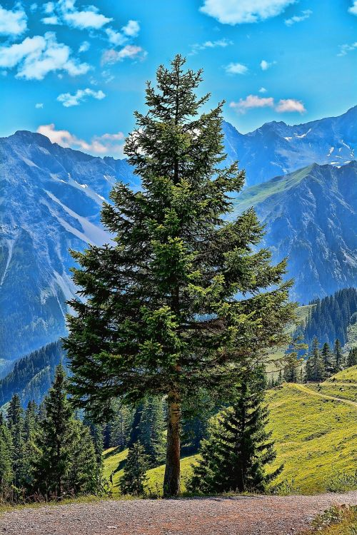 landscape tree conifer