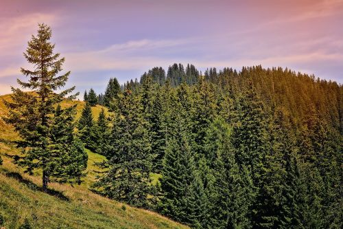landscape trees conifers
