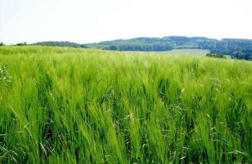 kraštovaizdis,vasara,kraštovaizdžio vasara,grūdai,laukai,laisvė,saulė,kvieciai,miežiai