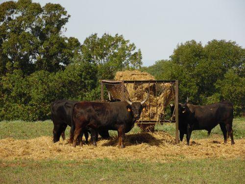 bulls fever eat