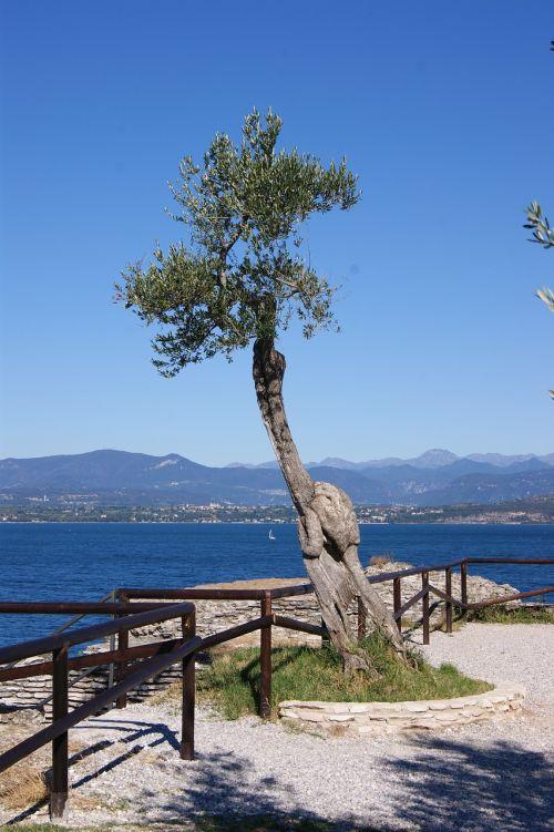 landscape tree olive