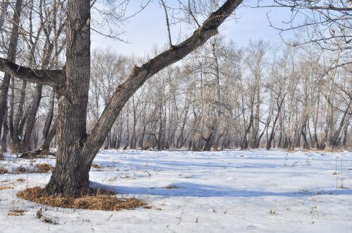 sniegas, pavasaris, kraštovaizdis, miškas, medžiai, puddles, kraštovaizdis su sniego