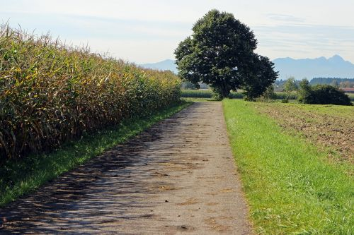 lane cornfield away