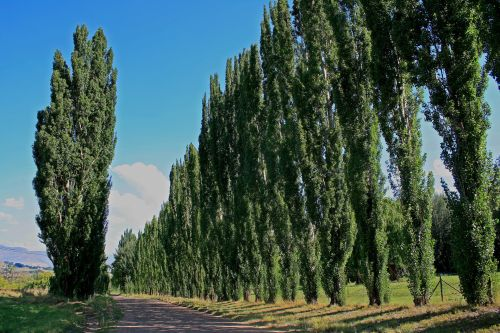 Lane Of Poplar Trees