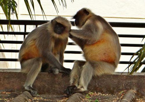 langur monkey animal