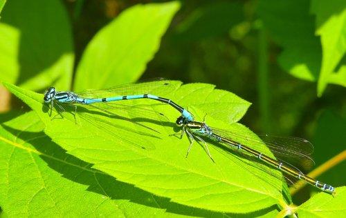 lanka girl  insects  dragonflies równoskrzydłe