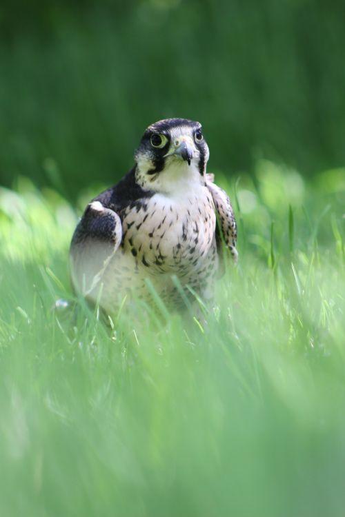 lanner falcon bird of prey falcon