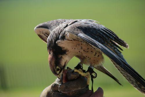 lanner falcon bird falcon