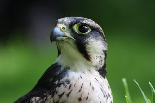 lanner falcon falcon lanner