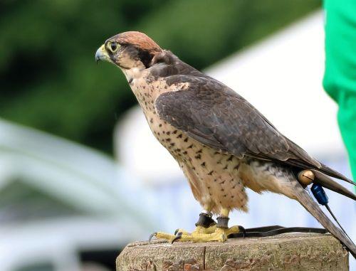 lanner falcon falcon bird
