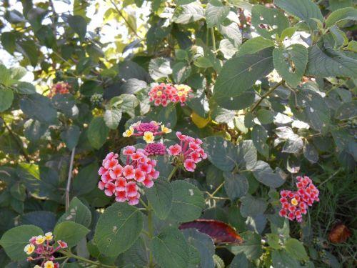 lantana shichihenge flowers