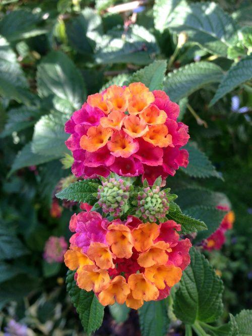 lantana ornamental plant lantana camara