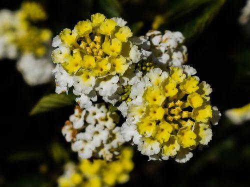 lantana flowers floral