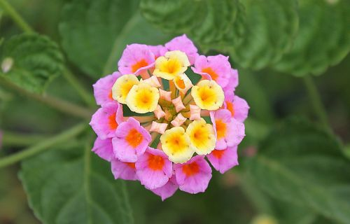 lantana dicotyledonous flowering plants family verbenaceae