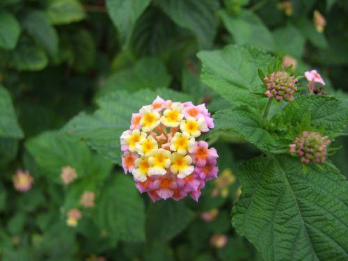 lantana flower lantana camara