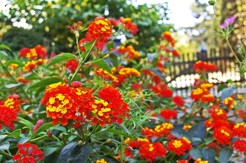 lantana  summer flower  plant