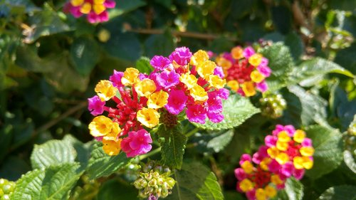 lantana  flowers  garden