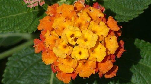 lantana  flower  garden