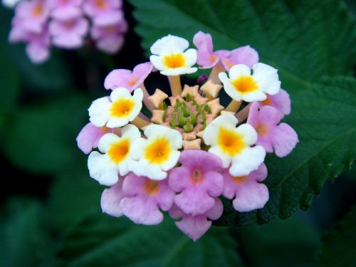 lantana big sage flowers