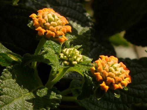 lantana lantana camara ornamental plant