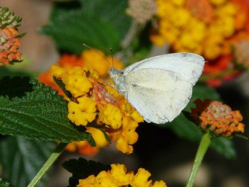 lantana flower butterfly